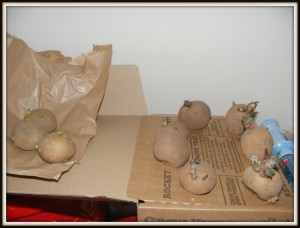 Potatoes chitting on top of our fridge freezer.