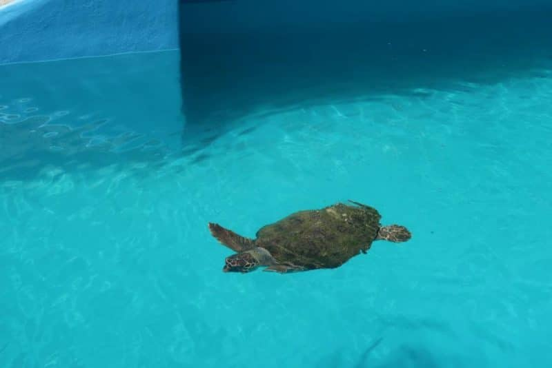 sea turtle due to be released