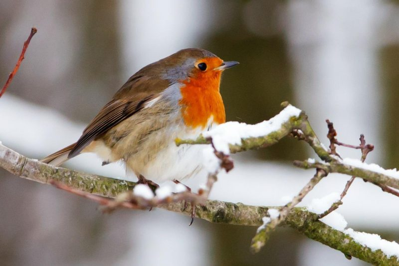robin on twig in snow
