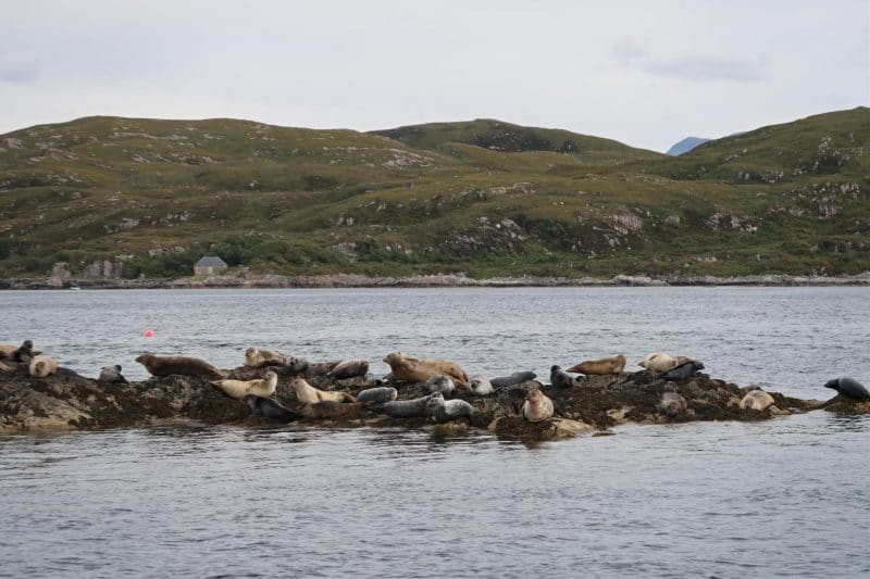 Seals on ferry to Eigg