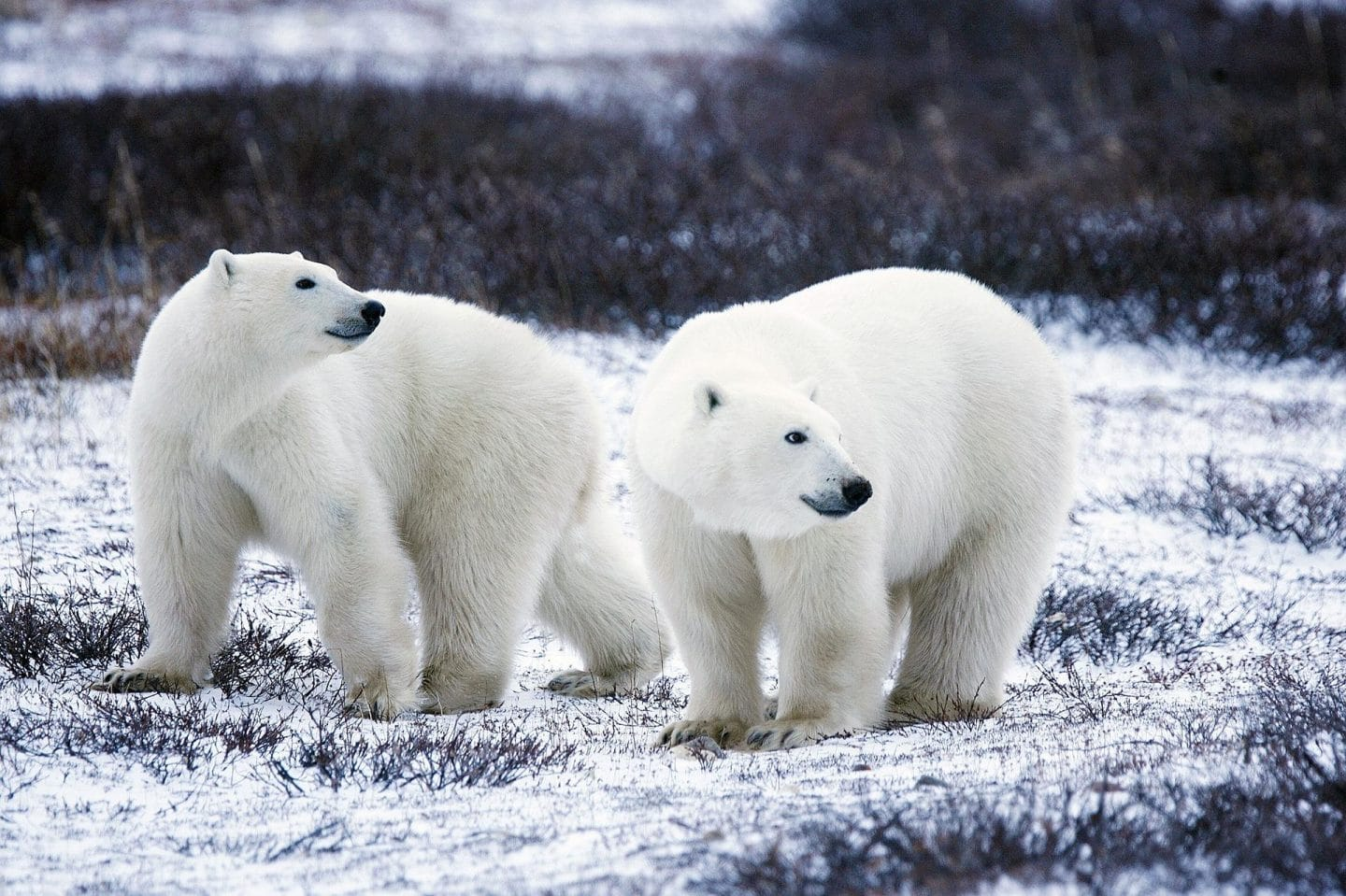 polar bears in canada