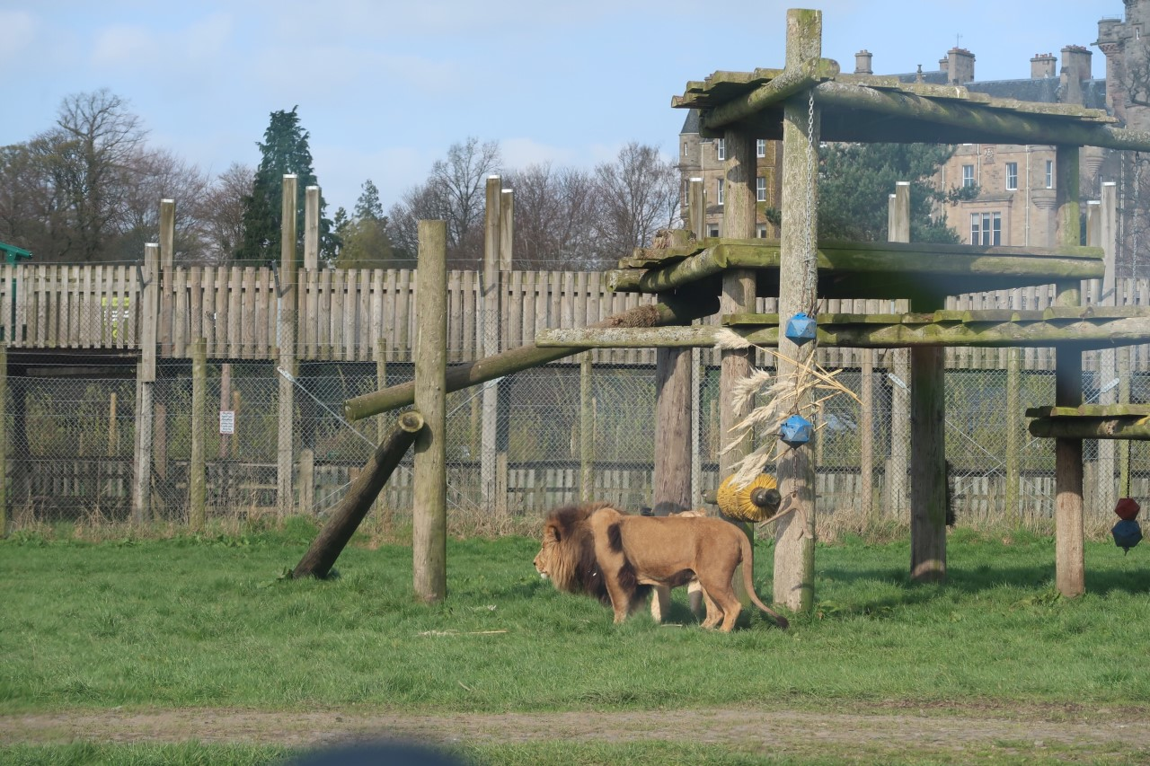 lions at Blairdrummond safari park