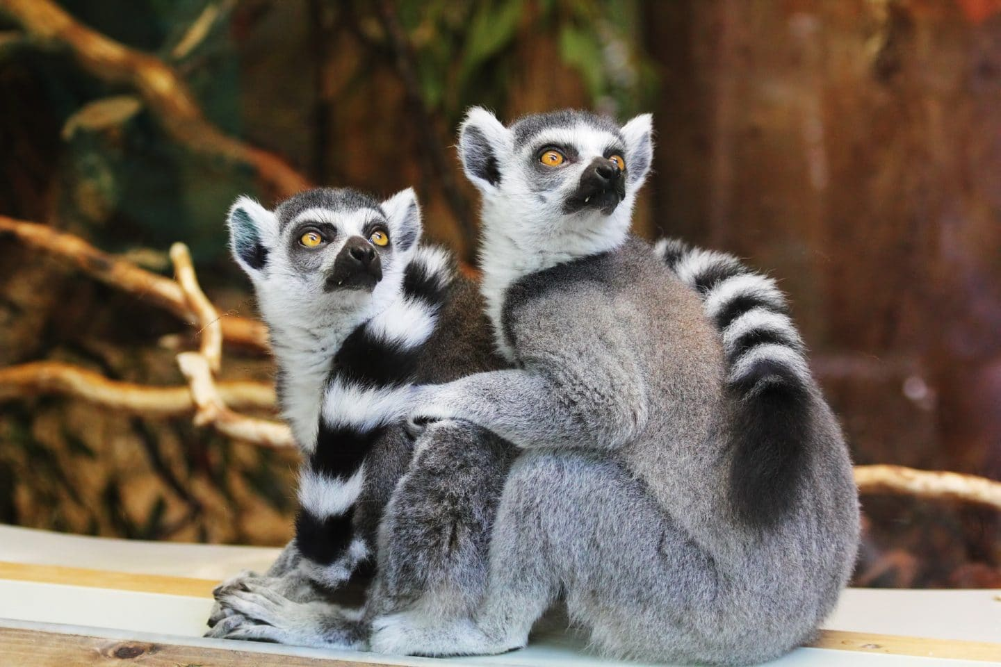 Lemurs at Pistoia zoo