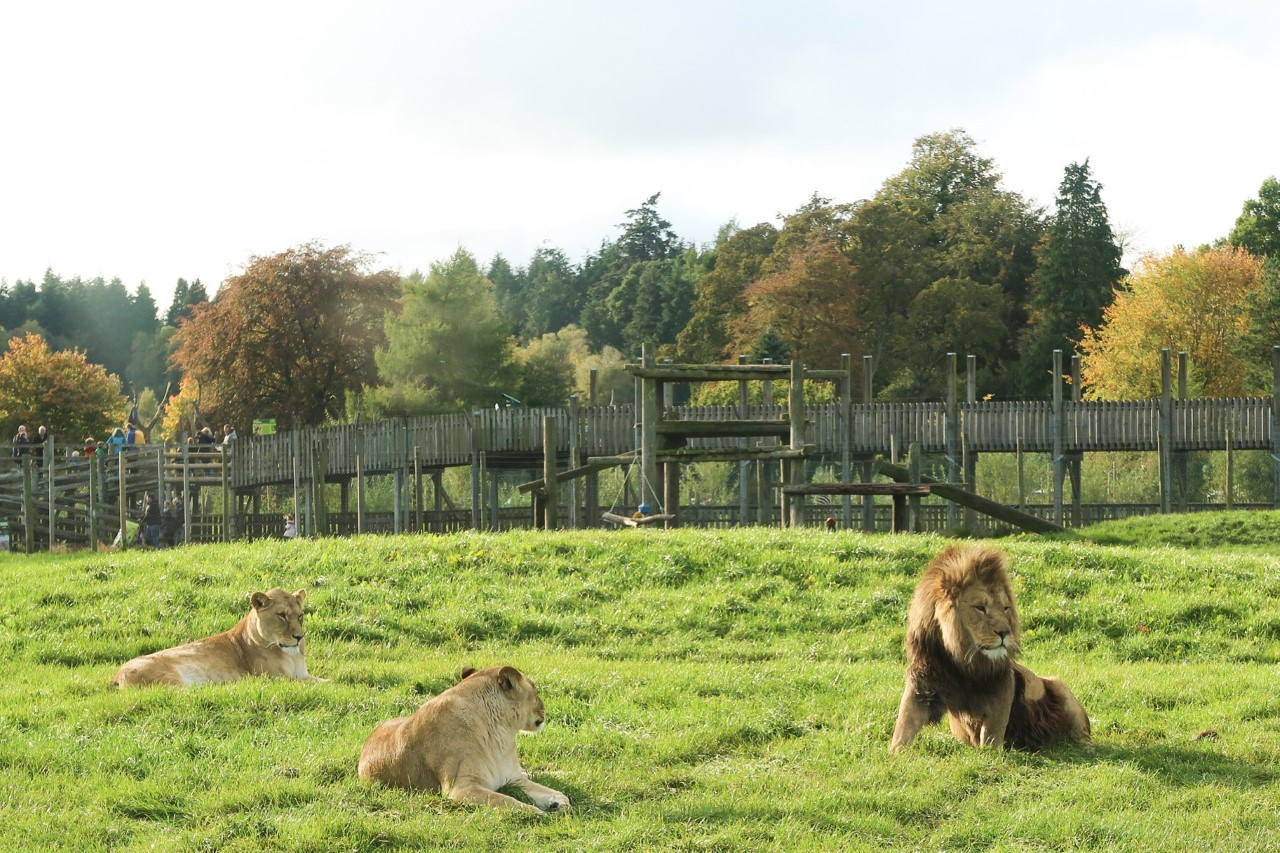 lions in a safari park enclosure