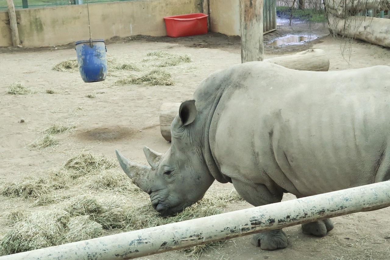 rhino in enclosure at safari park
