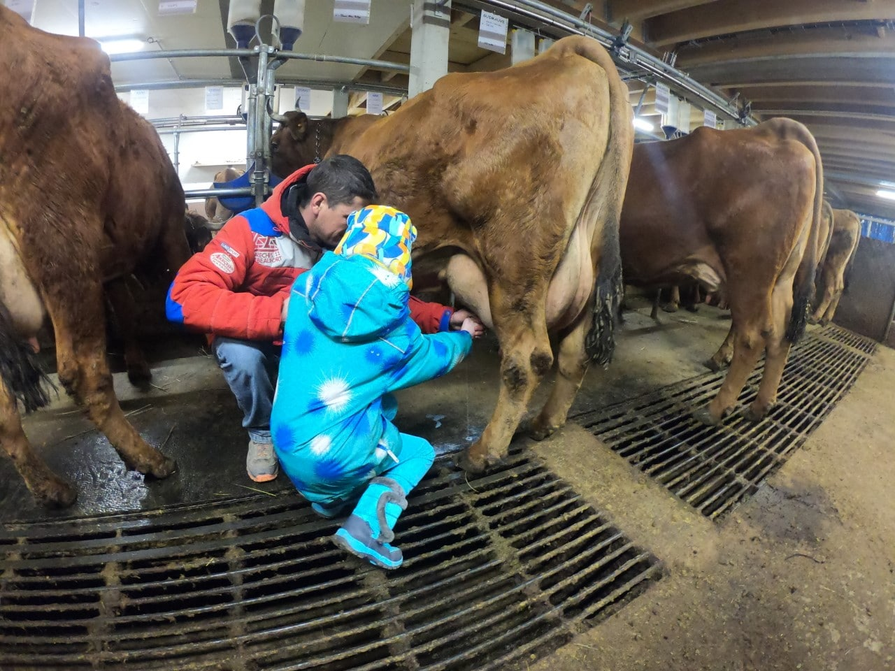 child milking a cow in France
