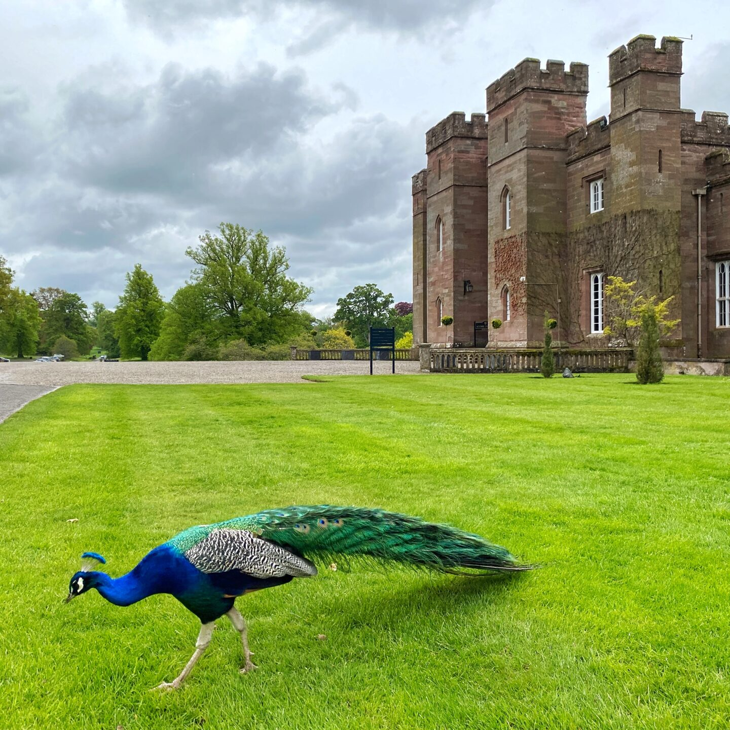 jewel coloured peacock in front of Scone Palace